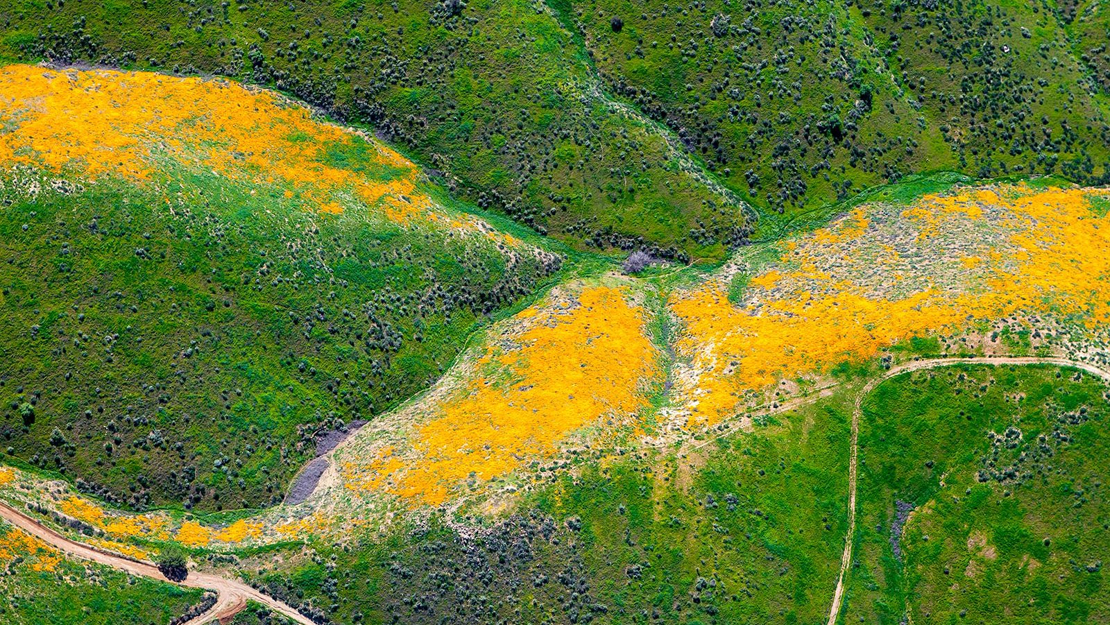 Blog image of the California Poppies blooming in the mountains near Lake Elsinore, California